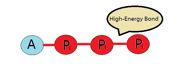 all about atp Every single thing you do depends on your bodies ability to produce atp learn all about this fascinating molecule of energy by reading this page.